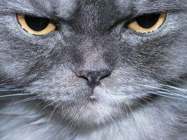 Cómo identificar problemas de la piel en los gatos