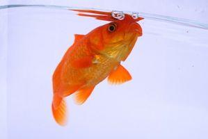 Pescados con la enfermedad de la vejiga natatoria