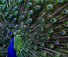 Los alimentos de la dieta natural nativo de la India pavo real