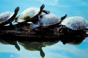 Cómo estimar el tamaño del tanque para una tortuga