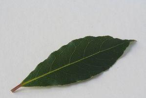 Cómo congelar hojas de laurel fresco