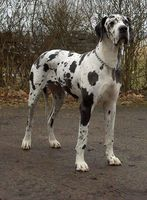 ¿Cuáles son los tratamientos para la enfermedad degenerativa del disco en los perros?