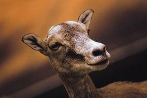 Cuáles son los tratamientos para Cabras con la sarna?