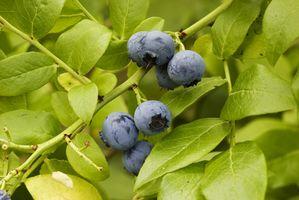Las plantas comestibles silvestres Michigan