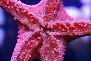 Las partes del cuerpo de una estrella de mar
