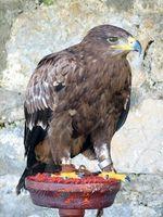 Una hoja informativa sobre el Golden Eagle en el desierto de Sonora