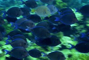 Datos sobre el Regal o espiga azul de los pescados