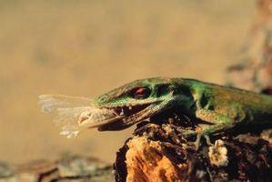 Los lagartos venenosos en Georgia