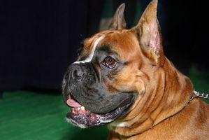 Problemas de salud con el boxeador perros