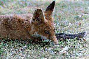 Tratamiento de la sarna de Fox