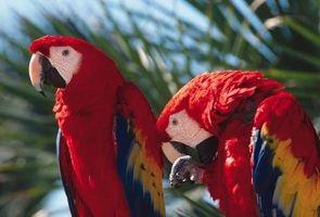 Cómo identificar un pájaro que habla