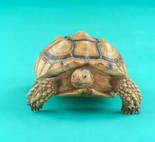 Cómo saber el sexo del bebé tortugas sulcata