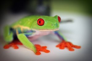 Datos interesantes sobre la rana de árbol de ojos rojos