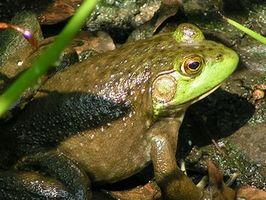 Tipos de ranas y sapos que viven en Louisiana