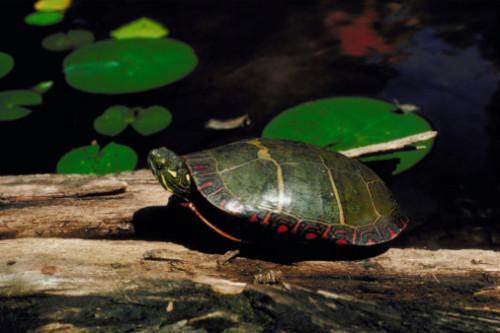 Caseras y trampas trampas para tortugas