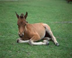 Señales de advertencia de problemas Foaling