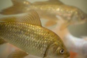 ¿Se puede mezclar Goldfish y guppies en el mismo acuario?