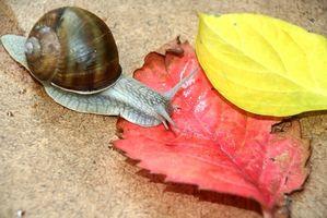 Vida útil de los caracoles de jardín