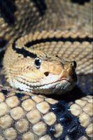 Tipos de serpientes de cascabel