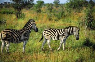 Información cebra africana