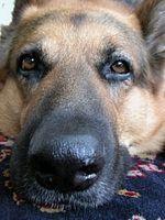 Cómo tratar a un perro con la fiebre del heno