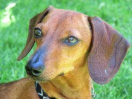 Tratamientos dachshund nodular Paniculitis