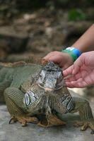 Lista de reptiles como mascotas