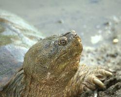 Desarrollo de rotura del huevo de tortuga