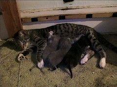 El cuidado de los gatitos recién nacido y la madre del gato
