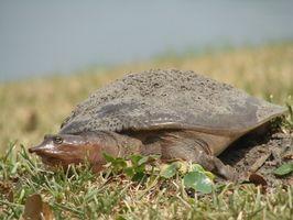 Cómo saber si una tortuga de caparazón blando es del sexo masculino o femenino