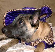 ¿Cómo vestirse para arriba y llevar a su perro a cabo en Halloween