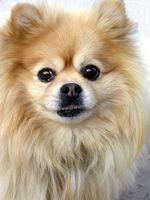 Las convulsiones en los perros pequeños