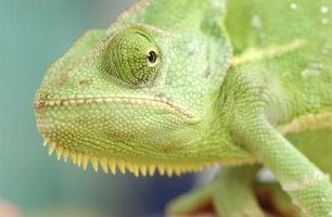 Terrarios vs. Acuarios para un camaleón