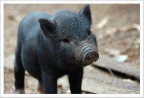 ¿Cómo los cerdos y las vacas Obtener tenias?