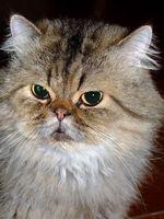 Los problemas del corazón común con gatos persas