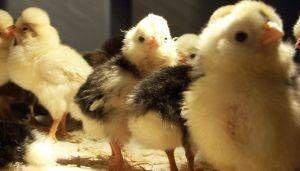 Lo que usted alimenta a los polluelos?
