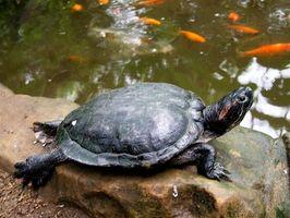 Cómo configurar una tortuga de jaula de agua