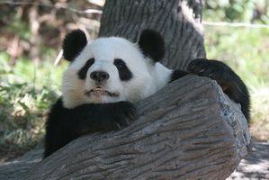 Cuál es la importancia de los pandas gigantes?