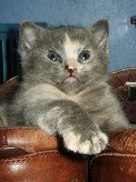 felina espina bífida