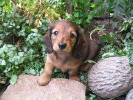 Linfoplasmocítica rinitis en los perros