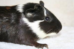 Signos y síntomas de los conejillos de Indias que tienen gota