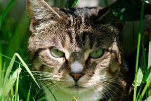 Un remedio natural para los gatos con seca, picazón y la piel Scabby