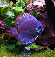 Cómo criar a un bebé Discus Fish