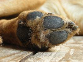 La infección de la pata del perro del cojín