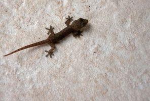 Cómo criar geckos del bebé