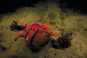 Cómo aclimatar una estrella de mar a un tanque de agua salada