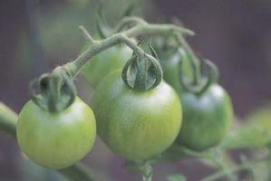 Puede que puedo en rodajas los tomates verdes para freír en el invierno?
