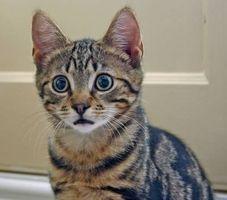 Signos y síntomas de insuficiencia cardíaca en los gatos
