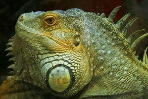 Cómo saber masculino y femenino Iguanas Aparte