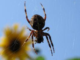 Las arañas venenosas de África